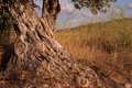 Old Olive Tree - PhotoDune Item for Sale