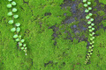 Green moss growing on the wall and ivy 2 - PhotoDune Item for Sale
