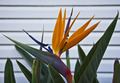 Bird of Paradise - PhotoDune Item for Sale