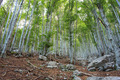 Beech forest in Slovenia - PhotoDune Item for Sale