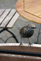 Starling at café - PhotoDune Item for Sale