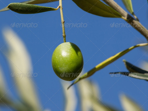 Olive tree with  big green colorful fruit - Stock Photo - Images