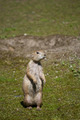 Black-tailed Prairie Dog - PhotoDune Item for Sale