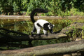 Black-and-white ruffed lemur in zoo - PhotoDune Item for Sale