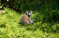 Lemur in zoo - PhotoDune Item for Sale
