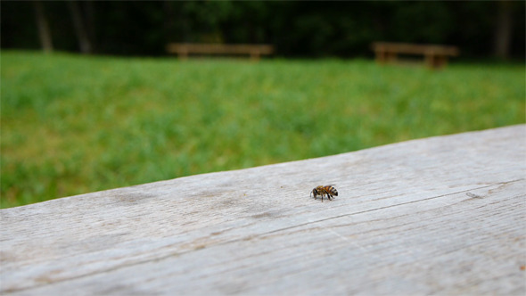 VideoHive Wasp On The Bench Pack Of 4 Shots 2905484