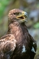 The Steppe Eagle (Aquila nipalensis) - portrait. - PhotoDune Item for Sale