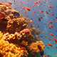 Colorful Fish on Vibrant Coral Reef, Red Sea 2 - VideoHive Item for Sale