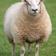 sheep - PhotoDune Item for Sale