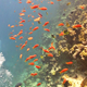 Colorful Fish on Vibrant Coral Reef, Red Sea 11 - VideoHive Item for Sale