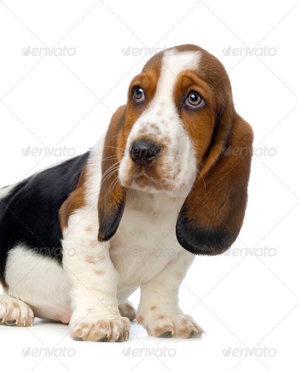 Basset Hound Puppy - Hush Puppies Stock Photo by Lifeonwhite ...