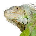 green iguana - PhotoDune Item for Sale