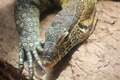 A Big Green Lizard Closeup  - PhotoDune Item for Sale
