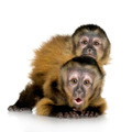 Two Baby Capuchins - sapajou apelle - PhotoDune Item for Sale