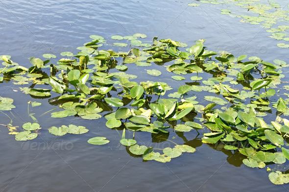 Spatterdock plants (Nuphar lutea) in water - Stock Photo - Images