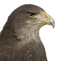 Black-chested Buzzard-eagle () - Geranoaetus melanoleucus - PhotoDune Item for Sale