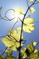 Vine Branch - PhotoDune Item for Sale