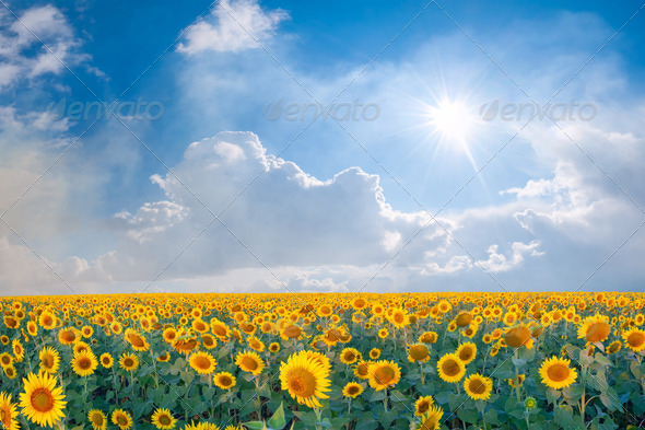 Landscape with big Sunflowers Field - Stock Photo - Images