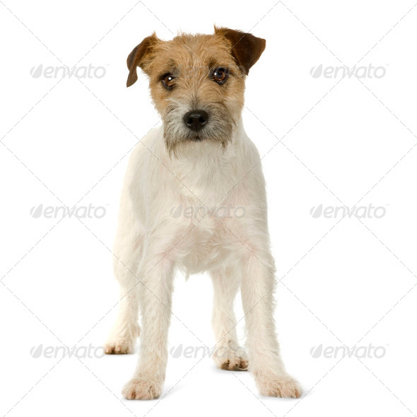 Stock Photo - PhotoDune Jack russell 253706