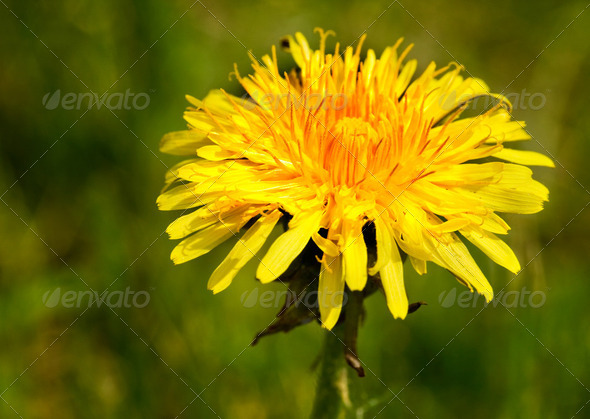 Dandelion Macro - Stock Photo - Images