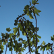 Fig Tree Branches - VideoHive Item for Sale