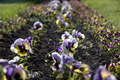 Flower bed with pansies - PhotoDune Item for Sale
