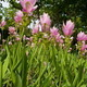 Siam Lily flower  Garden, Thailand - PhotoDune Item for Sale