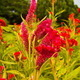 Red Cockscomb Flower - PhotoDune Item for Sale