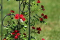 Roses - PhotoDune Item for Sale
