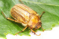Brown june beetle - PhotoDune Item for Sale