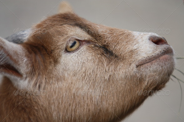 Baby Goat II - Stock Photo - Images