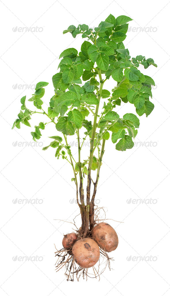Potato plants - Stock Photo - Images