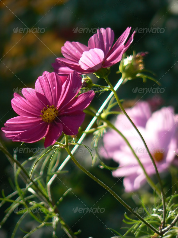 Pink blossoms - Stock Photo - Images
