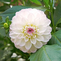White dahlia in flowerbed - PhotoDune Item for Sale