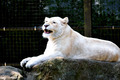 African White Lion - PhotoDune Item for Sale