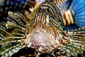 Lionfish - PhotoDune Item for Sale