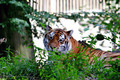 Tiger - PhotoDune Item for Sale