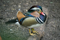 Colorful Duck - PhotoDune Item for Sale