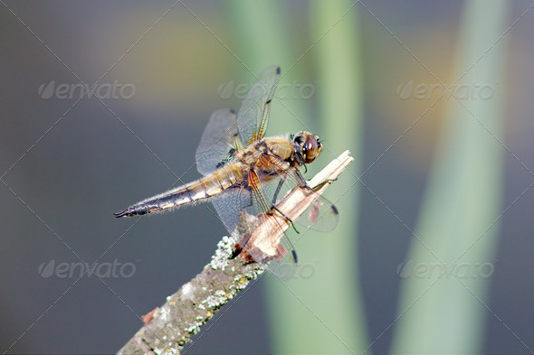 Dragonfly is sitting on a branch covered with lichen - Stock Photo - Images