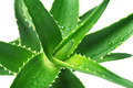 Aloe1 - PhotoDune Item for Sale