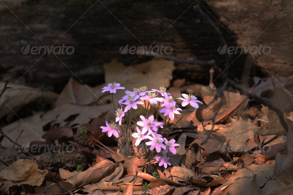 Early Spring Wildflowers on Forest Floor - Stock Photo - Images