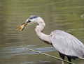 Great blue heron with lunch - PhotoDune Item for Sale