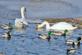 Mallard Ducks and Swans Swimming in the Lake - PhotoDune Item for Sale