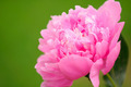 Beautiful Pink Peony Flower - PhotoDune Item for Sale