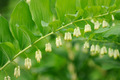 Flowering Polygonatum (Solomon's Seal) Plant - PhotoDune Item for Sale