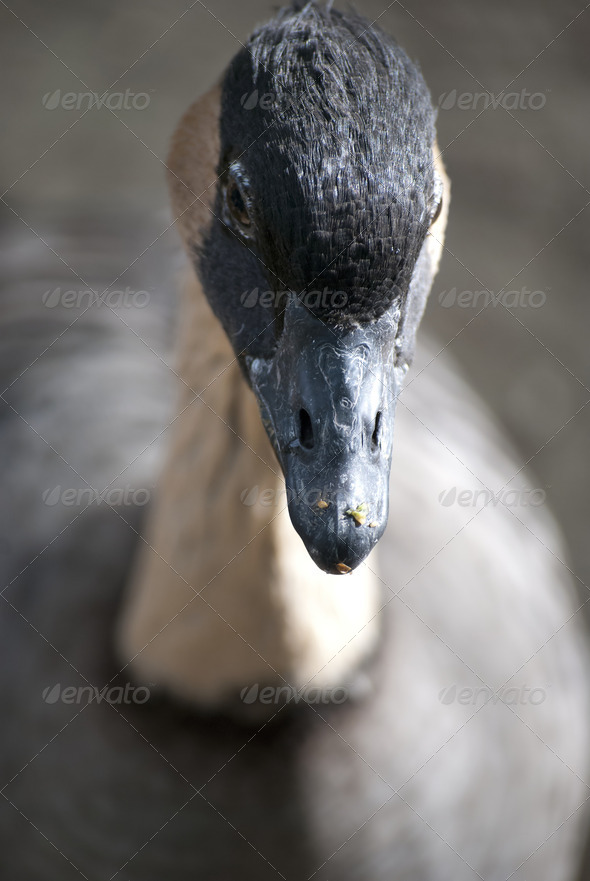 Goose - Stock Photo - Images