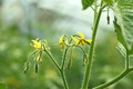 Tomatoes flowering - PhotoDune Item for Sale