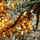 Sea Buckthorn Bush Sways - VideoHive Item for Sale