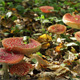 Colony of Red Fly Agaric Mushrooms 2 - VideoHive Item for Sale