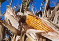 Ear of Corn - PhotoDune Item for Sale
